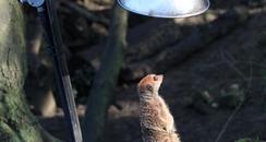 meerkat under sunlamp