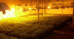 8,000 cannabis plants found in Maldon