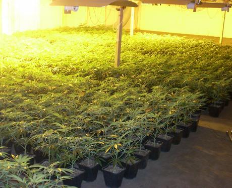 8,000 cannabis plants found in Maldon