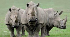 Marwell Rhino