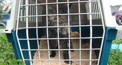Rescued Fox Cub