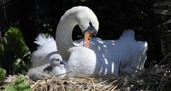 Born at Abbotsbury Swannery 2 weeks early!