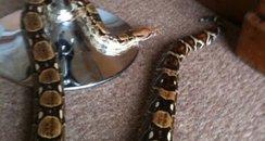 Snake Ipswich