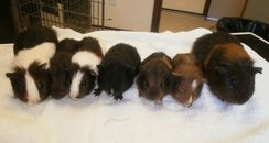 Guinea Pigs need re-homing
