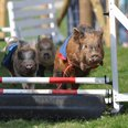 Pennywell Farm - Piglet Racing