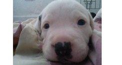 Stolen Puppy - Hemel Hempstead