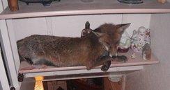fox rescue luton buddha