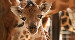 Baby Giraffe at Marwell Wildlife!