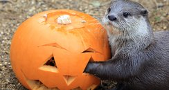 otter eating a pumpkin