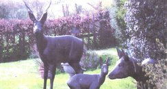 Royston Stolen Deer