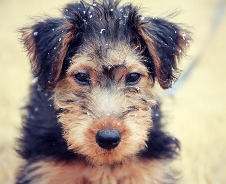 A Welsh terrier in the snow