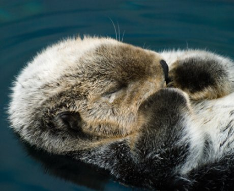 An otter sleep in the water