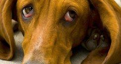 Sad bloodhound