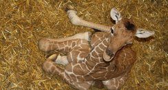 Baby Giraffe at ZSL Whipsnade Zoo