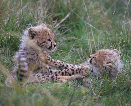 two cheetah cubs playing
