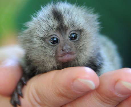 A tiny baby marmoset sitting in a person's hand