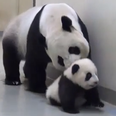 A mother panda and her baby