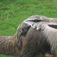 Anteater pup and mum at Cotswold Wildlife Park