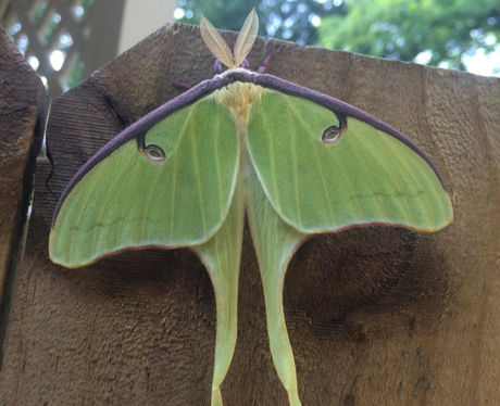 A giant green moth