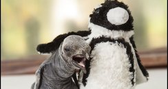 King Penguin Chick 1
