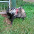 Missing Raccoon Dog in Somerset