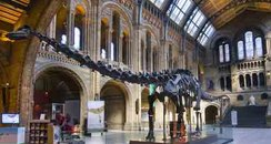 Dippy the dinosaur at the Natural History Museum