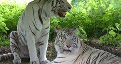 WMSP Tigers