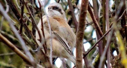 Penduline Tit - rare bird