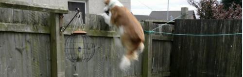 Dog On Trampoline Video
