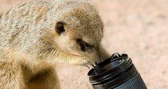 Meerkat selfie