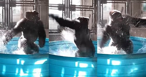 WATCH! Gorilla Going Bonkers In His Tub Will Have