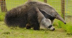 Howletts Giant Anteater