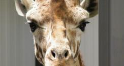 Giraffes arrive at Cotswold Wildlife Park